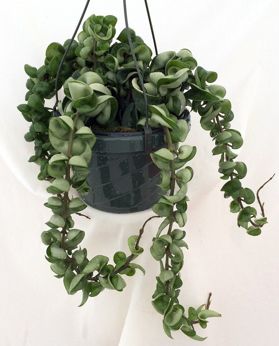 Unavailable listing on etsy for How to take care of exotic angel plants