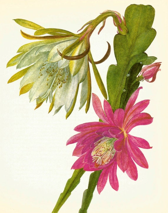 Gorgeous Antique Cactus Print Pink Flowered Cactus Vintage