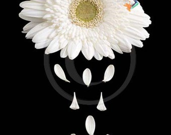 White Gerber Daisy Petals and Baby Frog Photo, Gerber Daisy art, flower print Flower Petals