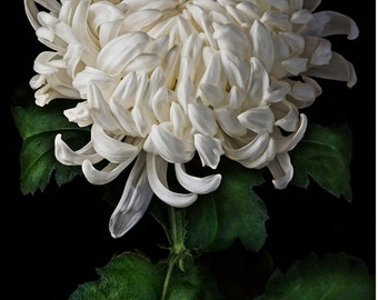 flower photography flower photograph fine art photography nature wall art print decorative arts, White Fuji Mum #1405