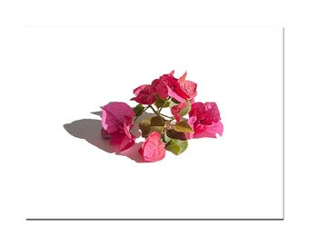 pink bougainvillea photo minimalist white background crisp modern decor deep pinks white green