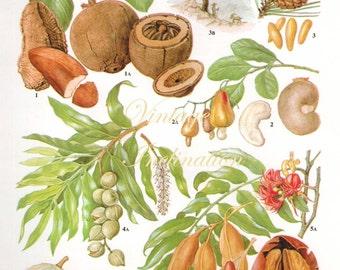 Vintage Botanical Print Antique brazil nut 31 plant print botanical print, bookplate art print, nuts food plants plant wall