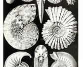 Ernst Haeckel Scientific Illustration of Ammonitida.. Digital Image no. 1696