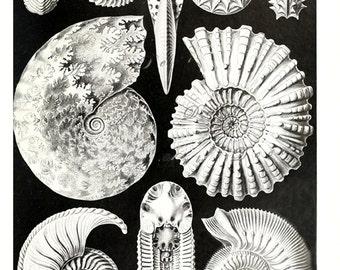 Ernst Haeckel art print of Ammonitida, unique home decor, printable digital download, collage sheet no. 1696