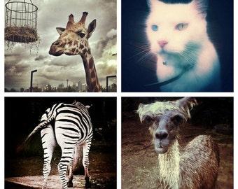 Animal Photo Set - Instagram Note Cards - Giraffe, Cat, Zebra, Alpaca - Llama Photography Prints 4x4