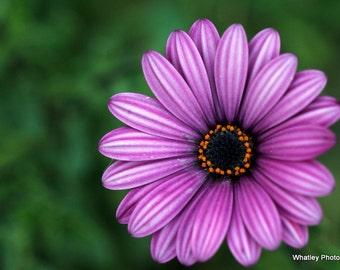 purple flower photo, purple flower art, purple floral decor, purple wall art, flower decor, purple green art