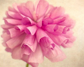 Pink Ranunculus  Print,  Macro  Photography,  Floral Art Print,  Cottage Chic Wall Decor, Flower Photography
