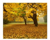 Autumn Lovliness Yellow Trees Mother Nature Natural History Nature Print Yellow Leaves Trees