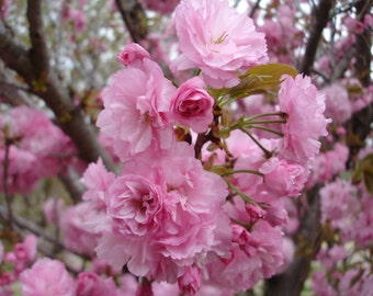 Cherry Blossoms - 5x7 color photo - Pink blooming tree - Nature Photography - MORE SIZES AVAILABLE