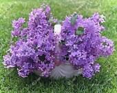 Watercolor Lilacs Basket Fragrant Floral Fine Art Photography Photo Print