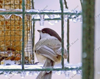Chilly Chickadee Bird Winter Ice & Snow Original Fine Art Photography Print