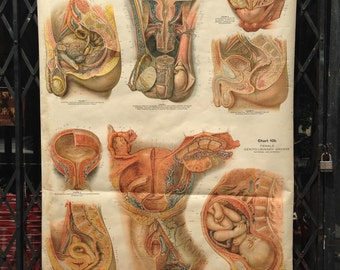 Vintage Early 1900s Frohse Anatomical Classroom Chart of Birth & Sexual Organs
