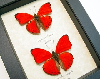 Wedding Day Gift Real Framed Heart To Heart Red Heart Shaped African Butterfly Set 8186