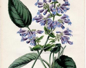 1847 Rare Vintage Botanical Print by Joseph Paxton - Pentstemon Ovatum - Handcolored