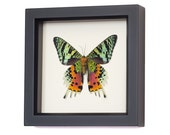Framed Mounted Sunset Moth from Madagascar