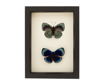 Framed Butterfly Collection Front and Back of Charles Darwin Butterfly