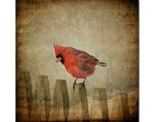 8x8, Red Cardinal , fine art photography by Michelle Anderson , bird photography, 5x5,8x8, 10x10,12x12 print size options