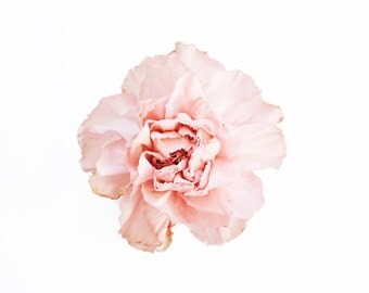 Pink Carnation. 8x10. Fine Art Photographic Natural History Print. Minimal simple style. Natural Home Decor. Indoor garden botanical