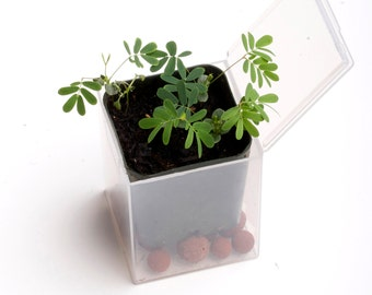 SALE Sensitive Plant Kits -- 3-Pack! It Moves When Touched -- Grow Your Own Sensitive Garden on SALE Mimosa Pudica Seeds DIY