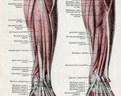 vintage medical diagram of human anatomy, MUSCLES of HUMAN ARM, 1947 antique medical chart