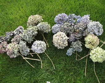 Dried Hydrangeas   Mixed Assortment