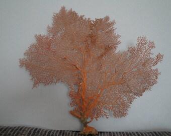 "13.4"" x 12"" Pacifigorgia Red  Sea Fan Seashells Reef Coral"
