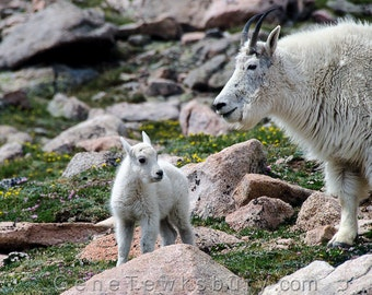 Mother and Baby Mountain Goats - Wildlife Fine Art Photography - Animal Nature Print - Unique Modern Home Decor - Colorado Rocky Mountains