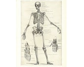"""Digital Download """"Anatomy 1. The Human Skeleton"""" Image from 1902 (8.5x11 inches) - Instant Download of Illustration of Human Anatomy"""