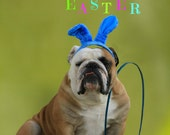 5 x 7 English Bulldog Easter Card