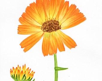 Original painting Botanical illustration Calendula flower art ink painting spring decor orange green