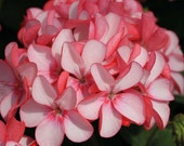 Heirloom 15 RARE Seeds Geranium 'Maverick Appleblossom' Pelargonium Flower Bulk Seeds S3095