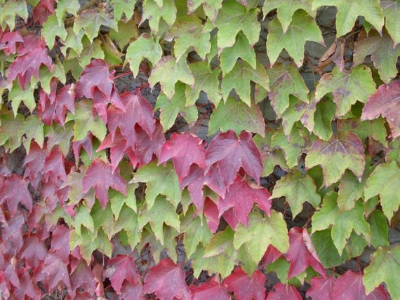 Heirloom 100 Seeds Boston Ivy Vine Virginia creeper Parthenocissus tricuspidata Garden Bulk Seeds S094