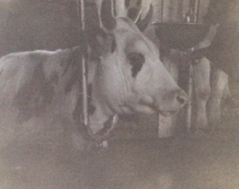 Original Antique Photograph Close Up Cute Cow Face