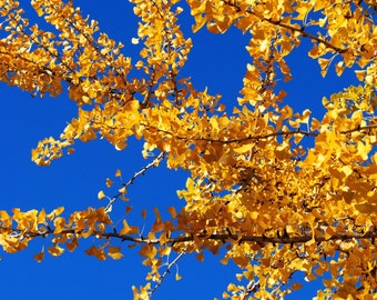 Golden Ginko Leaves, ginkgo tree, fall colors, photography, print, downtown athens, ga, gift 8x10