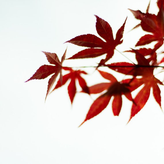 Wall Art Red Leaves : Bright red wall art japanese maple tree fall leaves by
