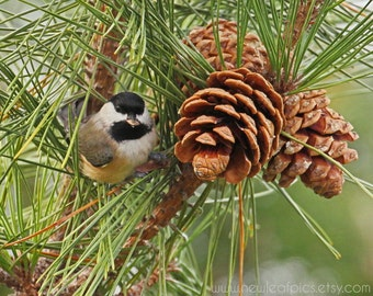 Wildlife Photography, Bird Photograph, Chickadee Wall Art, Pine Cone Photo, Green and Brown Bird Print, Woodland Decor, Nature Picture