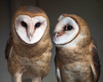 Barn Owls. Owls. Birds of Prey. Professional Wildlife Images. Bird of Prey Photography by Liz Bergman. Liz and Rich Photpgraphy.