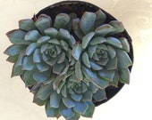 Succulent Plant Echeveria Azulita. A succulent that seems to reproduce before your eyes.