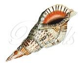 SEASHELL Instant Download Digital Downloads large digital image, orange stripes seashell clipart illustration 265
