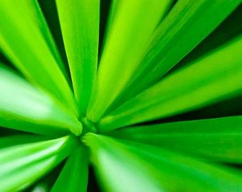 Chinese Podocarpus Macro Flower Photograph