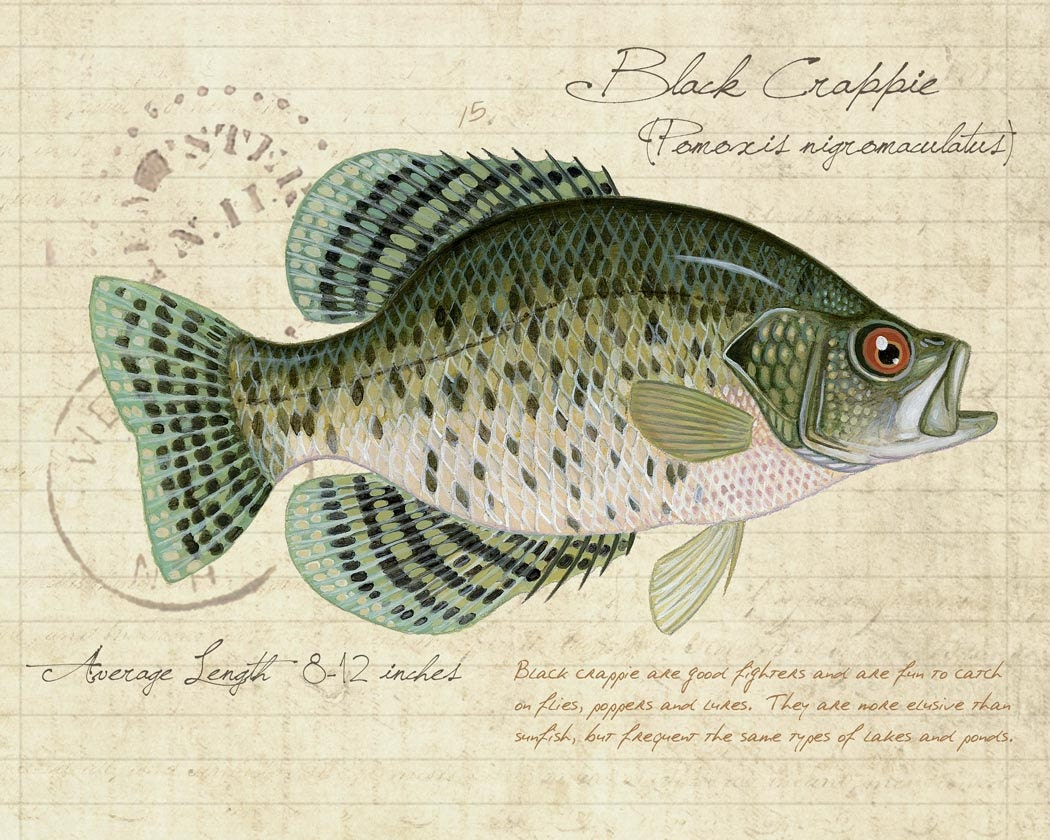 Black crappie 8x10 inch limited edition by for Crappie fish facts