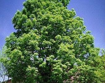 50 Green Ash Tree Seeds, Fraxinus pennsylvanica