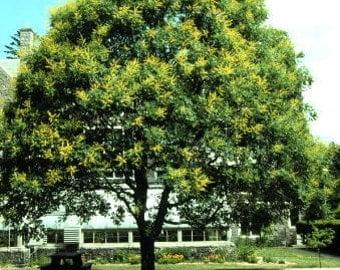 500 Panicled Golden Rain Tree Seeds, Koelreuteria paniculata