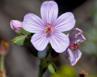 Sticky Purple Geranium, Medicinal Uses, Unusual Flower, 20 Seeds