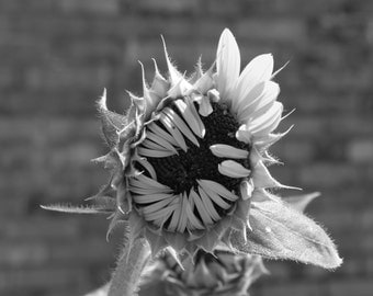 Sunflower in Clarksdale, Nature Photograph, Fine Art Photograph, Black and White Photography