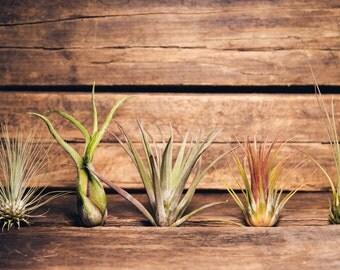 Five Pack Assortment of Air Plants Tillandsia