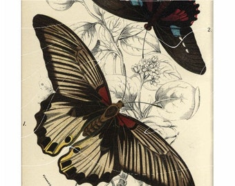 Antique Natural History Entomological Print – Lliades Agenor (Butterflies)