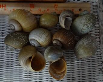 Apple Snail Shells