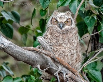Young Great Horned Owl Image, Owl Portrait, Nature Photography, Great Horned Owl Photo,