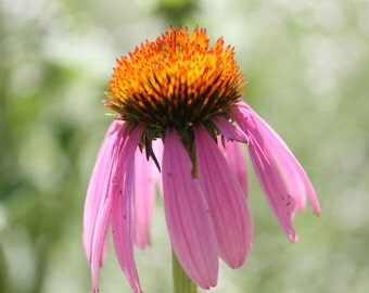Photo Print - Pink Echinacea, Pink Coneflower, Old Fashioned Perennials